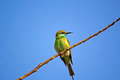Green bee eater merops orientalis in porbandar bird sanctuary Royalty Free Stock Photography