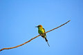 Green bee eater merops orientalis in porbandar bird sanctuary Stock Image
