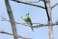 Green bee eater sitting on a tree this is slender color bird with elongated central tail feathers Stock Image
