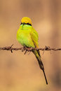Green bee eater a small is a bird which eats bees this bird have a very very attractive color in this photo a superb piece of art Stock Images
