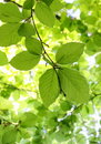 Green Beech Leaves Stock Image