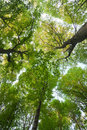 The green beeches trees Stock Photography