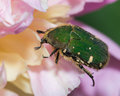 Green beetle feeding on a flower pink Royalty Free Stock Photos