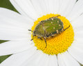 Green beetle feeding on a flower white and yellow Stock Photography