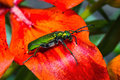 Green beetle on a flower cantharis lytta vesicatoria Royalty Free Stock Photos