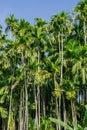 Green Betel palm tree on blue sky background