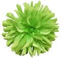 Green  Big Autumnal Flower, Gr...