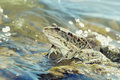Green big frog in shallow glittering water close up Royalty Free Stock Photo