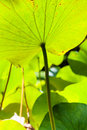 Green big leaf of lotus illuminated by sunlight Royalty Free Stock Photo