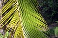 Green big palm leaf detail photo in summer Royalty Free Stock Photo