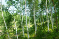 Green birch   forest Royalty Free Stock Photos