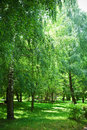 Green birch park Royalty Free Stock Images
