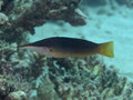 Green birdmouth wrasse Royalty Free Stock Photo