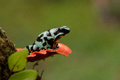 Green And Black Poison Dart Frog Royalty Free Stock Photo