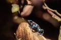 Green and black poison dart frog Dendrobates auratus Royalty Free Stock Photo