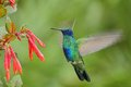 Green and Blue Hummingbird Sabrewing flying next to beautiful red flower Royalty Free Stock Photo