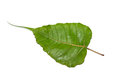 Green bodhi leaf vein Royalty Free Stock Photo