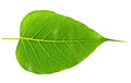Green bodhi leaf vein on white background Royalty Free Stock Photos
