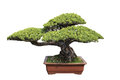 Green bonsai pine Royalty Free Stock Photos