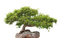 Green bonsai tree growing on a rock Stock Photography