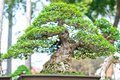 Green bonsai tree in a pot plant in the shape of the stem