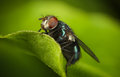 Green bottle fly close up of a Royalty Free Stock Photo