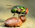 Green bottle fly perched on a dung ball Royalty Free Stock Photo