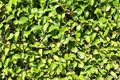 Green Boxwood Hedge Background Royalty Free Stock Photo
