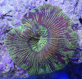 Green Brain Coral Royalty Free Stock Photo