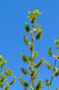 Green branch with catkins blossoming on blue sky background Stock Photo