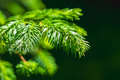 Green branch and needles of a spruce tree Royalty Free Stock Photo