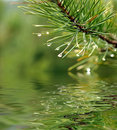 Green branch of pine-tree Stock Photo