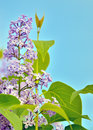 Green branch with spring lilac flowers against the sky Stock Images