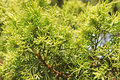Green branch of a thuja tree Close-up view background