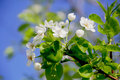 Green branch with white apple flowers in spring time Stock Image