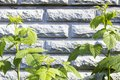 Green branches on a brick wall Royalty Free Stock Photo