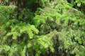 Green branches of fir tree close up a Stock Image