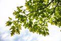 Green branches of the oak tree with tiny young acorns against white sky background Stock Photography