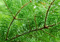 Green branches of pine tree, needles Royalty Free Stock Photo