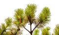 Green branches of a pine Royalty Free Stock Photo