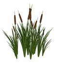Green and Brown Cattails Royalty Free Stock Photo