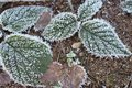 Green and brown leaves in frost on cold ground. Winter forest. Frozen plants closeup.
