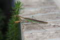 Green and brown praying mantis religiosa outside on a brick window ledge is a stick insect Stock Photos