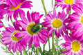 Green bug on  pink daisies Stock Photography