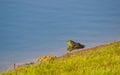 A green Bullfrog Royalty Free Stock Photo