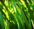 Green Bulrush Closeup. Stock Images