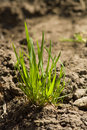 Green bunch of spring grass Royalty Free Stock Images