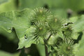 Green bur plant a blooming lesser burdock arctium minus with burs on full display shot in southern ontario canada Royalty Free Stock Image