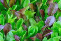 Green and burgundy lettuce seedlings, growing Stock Image