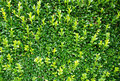 Green bush background Royalty Free Stock Photography
